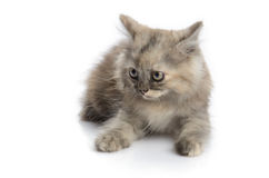 A little persian kitten Stock Photos