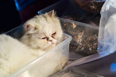 Little persian kitten sleeping in box Royalty Free Stock Images