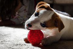 Little Pet dog with its toy. Little Jack Russel Terrier puppy dog plays with a small red ball Royalty Free Stock Photos