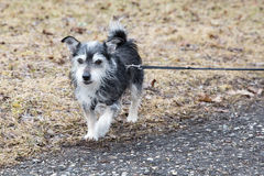 Little pet dog out for walkies. Stock Image