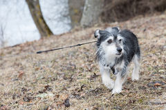 Little pet dog out for walkies. Stock Images