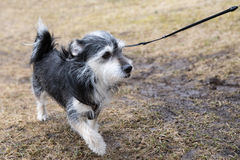 Little pet dog out for walkies. Royalty Free Stock Photo