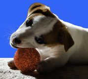 Little pet dog plays with its toy Royalty Free Stock Image