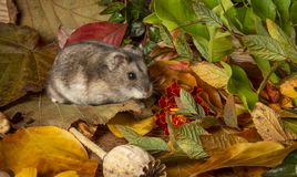 Little pet hamster - Phodopus sungorus royalty free stock photos