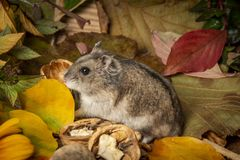 Little pet hamster - Phodopus sungorus stock photo