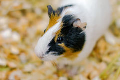 Little pet rodent guinea pig in a cage Stock Image
