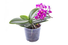 Little phalaenopsis. Orchid with lush flower stalks isolated on a white Stock Photos