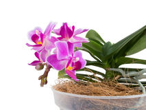 Little phalaenopsis Royalty Free Stock Photos