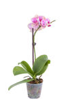 Little phalaenopsis Royalty Free Stock Photography