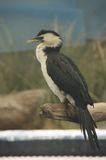 Little Pied Cormorant Stock Photography