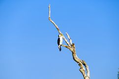 Little Pied Cormorant Stock Photos