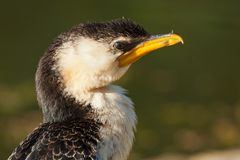 Little Pied Cormorant Royalty Free Stock Photography