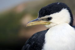 Little pied cormorant Stock Photography