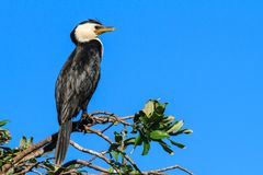 A Little Pied Cormorant on a branch against blue sky. The little pied cormorant, also known as the little shag or kawaupaka Microcarbo melanoleucos is a stock photo