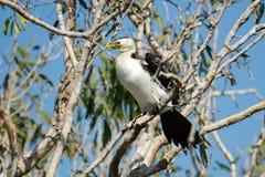Little Pied cormorant - Australia Stock Image