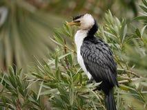 Little pied cormorant Stock Image