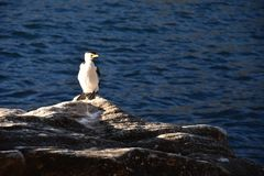 Little Pied Cormorant. Little Shag or Kawaupaka royalty free stock photography