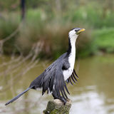 Little Pied Cormorant, Microcarbo melanoleucos Royalty Free Stock Photos