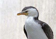 Little Pied Cormorant Royalty Free Stock Image