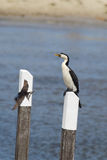 Little Pied Cormorant (Microcarbo melanoleucos). Sitting on a pole at Lake King in Lakes Entrance, Victoria, Australia Royalty Free Stock Photo