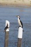Little Pied Cormorant (Microcarbo melanoleucos) Royalty Free Stock Photo