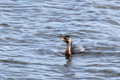 Little Pied Cormorant (Microcarbo melanoleucos). Swimming in Lake King in Lakes Entrance, Victoria, Australia Stock Photo