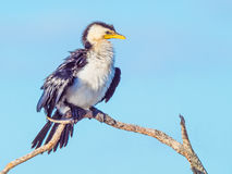Little Pied Cormorant Royalty Free Stock Images