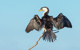 Little Pied Cormorant. The Little Pied Cormorant, Little Shag or Kawaupaka Microcarbo melanoleucos is a common Australasian waterbird, found around the coasts royalty free stock image