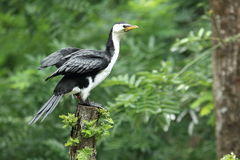 Little pied cormorant Stock Image