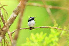 Little Pied Flycatcher Stock Photo