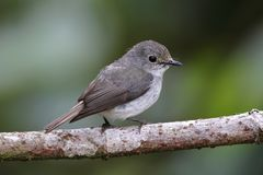 Little Pied Flycatcher Ficedula westermanni Female Cute Birds of Thailand. Little Pied Flycatcher Ficedula westermanni Female Cute Bird of Thailand Royalty Free Stock Images
