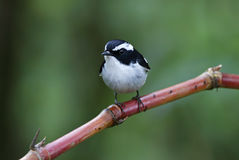Little Pied Flycatcher Ficedula westermanni Male Birds of Thailand Royalty Free Stock Photos