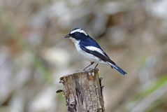Little Pied Flycatcher Ficedula westermanni Male Cute Birds of Thailand Royalty Free Stock Photography
