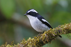 Little Pied Flycatcher Ficedula westermanni Male Cute Birds of Thailand Stock Image