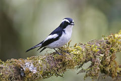 Little Pied Flycatcher Ficedula westermanni Male Cute Birds of Thailand Royalty Free Stock Photo