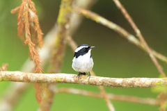 Little Pied Flycatcher Royalty Free Stock Image