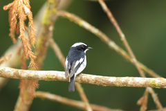 Little Pied Flycatcher Royalty Free Stock Photos