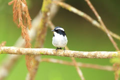 Little Pied Flycatcher Royalty Free Stock Images