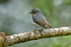 Little Pied Flycatcher. (Female) Stock Images