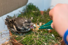 Little pied wagtail gets feeded by hand with tweezers Royalty Free Stock Images