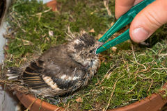 Little pied wagtail gets feeded by hand with tweezers Stock Photos