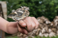 Little pied wagtail sitting on a finger Royalty Free Stock Photos