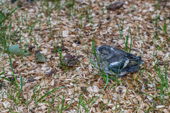 Little pied wagtail sitting on the ground Royalty Free Stock Images