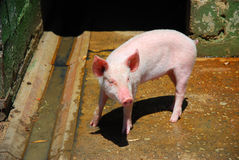 Little pig Royalty Free Stock Photography