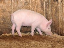 Little pig. Who are in a shed Royalty Free Stock Image