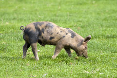 This Little Pig Royalty Free Stock Photos