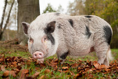 Little pig. In the autumn royalty free stock photo