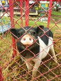 A little pig. Royalty Free Stock Images