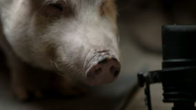 The little pig is chewing. Muzzle and pig`s piglet close-up. Studio shooting stock footage