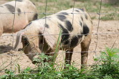 Little Pig Stock Photography